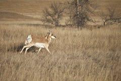 Pronghorn antelope Royalty Free Stock Image