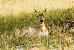 Pronghorn Antelope. Along the wildlife loop drive in Custer State Park Royalty Free Stock Photos