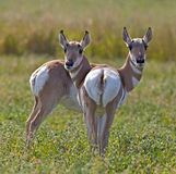 Pronghorn Antelope Royalty Free Stock Photos
