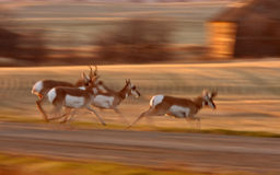 Pronghorn Antelope Stock Photography