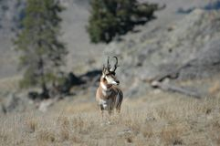 Pronghorn Antelope. A Beautiful Pronghorn Antelope standing in a field Royalty Free Stock Photo