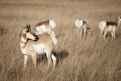 Pronghorn antelope Stock Photos