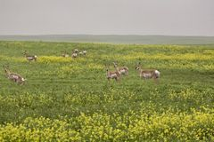 Pronghorn Antelope Stock Photos