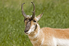Pronghorn Antelope. In Nebraska wildlife refuge Royalty Free Stock Photography