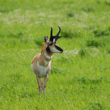 Pronghorn Antelope. Antelope on the prairie in springtime Royalty Free Stock Images