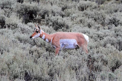 Pronghorn Antelope (Antilocapra americana) Royalty Free Stock Photo