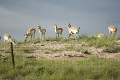 Pronghorn Antelope (Antilocapra americana). American Pronghorn Antelope (Antilocapra americana). A poor jumper, its range and migration routes are often stock photos