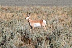 Pronghorn Antelope (Antilocapra americana) Royalty Free Stock Photos