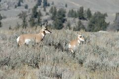 Pronghorn Antelope with a baby. A Beautiful Pronghorn Antelope standing in a field with a young pronghorn standing by it's side Stock Photo