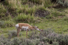 Pronghorn Antelope and Baby Stock Photography