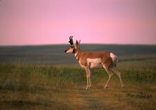 Pronghorn Antelope Buck Royalty Free Stock Images