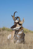 Pronghorn Antelope Buck Stock Photos