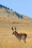 Pronghorn Antelope Buck Royalty Free Stock Photos