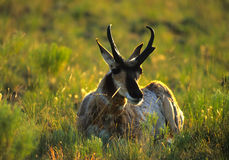 Pronghorn Antelope Buck Backlit Stock Image