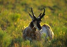 Pronghorn Antelope Buck Backlit stock image