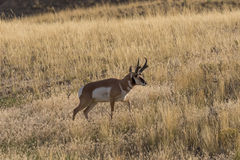 Pronghorn Antelope Buck Backlit Stock Photos