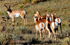 Pronghorn Antelope Buck & Does. A wild Pronghorn Antelope Buck in the American West keeps watch over his harem of Does during an autumn sunset (focus point on royalty free stock images