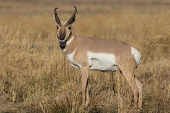 Pronghorn Antelope Buck in Field Stock Photography