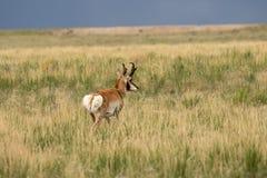 Pronghorn Antelope Buck in Grass. A nice pronghorn antelope buck on the Utah prairie Royalty Free Stock Photos