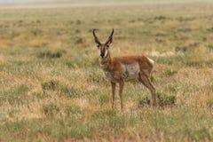 Pronghorn Antelope Buck on Grassland. A nice pronghorn antelope buck on the Utah prairie Royalty Free Stock Photos