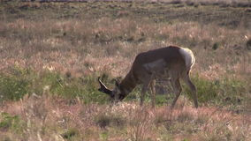 Pronghorn Antelope Buck Grazing stock footage