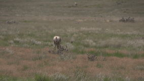 Pronghorn Antelope Buck Grazing. A nice pronghorn antelope buck walking on the prairie stock footage