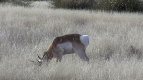 Pronghorn Antelope Buck Grazing stock video footage