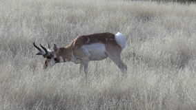 Pronghorn Antelope Buck Grazing on the Prairie stock video