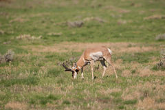 Pronghorn Antelope Buck Grazing Royalty Free Stock Images