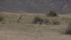 Pronghorn Antelope Buck. A nice pronghorn antelope buck on the prairie stock footage