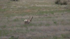 Pronghorn antelope buck. A nice pronghorn antelope buck walking on the prairie stock video