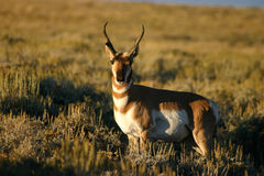 Pronghorn Antelope Buck Posing Stock Photo