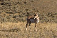 Pronghorn Antelope Buck Stock Photos