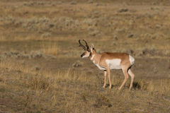 Pronghorn Antelope Buck Royalty Free Stock Image