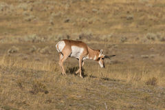 Pronghorn Antelope Buck Royalty Free Stock Photo