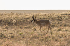Pronghorn Antelope Buck Stock Images