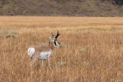 Pronghorn Antelope Buck Stock Photography