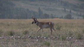 Pronghorn Antelope Buck. A pronghorn antelope buck on the prairie stock footage