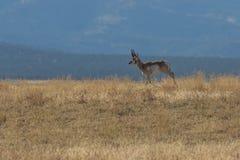 Pronghorn Antelope Buck on Ridge Stock Images