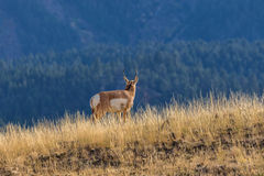 Pronghorn Antelope Buck on Ridge Stock Photography