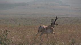 Pronghorn Antelope Buck Running. A pronghorn antelope buck running across the prairie stock video