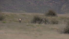 Pronghorn Antelope Buck in Rut. A nice pronghorn antelope buck on the prairie stock video footage