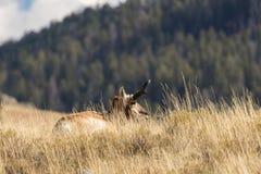 Pronghorn Antelope Buck in Tall grass Stock Photos