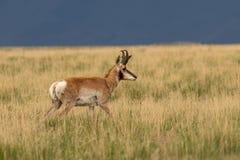 Pronghorn Antelope Buck in Tall Grass. A nice pronghorn antelope buck on the Utah prairie Stock Photos