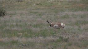 Pronghorn antelope buck walking. A nice pronghorn antelope buck walking on the prairie stock video