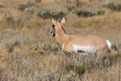 Pronghorn Buck Looking Away Royalty Free Stock Image
