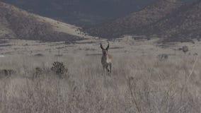 Pronghorn Antelope Buck Zoom In stock video footage