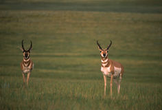 Pronghorn Antelope Bucks Royalty Free Stock Photos