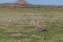 Pronghorn Antelope Bucks Royalty Free Stock Photography