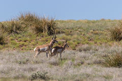 Pronghorn Antelope Bucks Royalty Free Stock Images